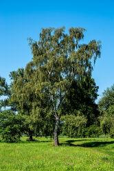 Bild mit Jahreszeiten, Parks, Sommer, Baum, Birke, Blätter, garten, Wiesen, Äste, Zweige