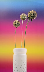 Bild mit Natur, Makroaufnahme, Blume, Pflanze, Studio, nahaufnahme, Wachstum, Sternskabiose, gold grün, Shot
