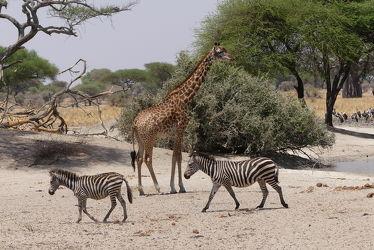 Bild mit Tiere, Säugetiere, Natur, Wasser, Paarhufer, Giraffe, Afrika, Zebras, Nationalpark, safari