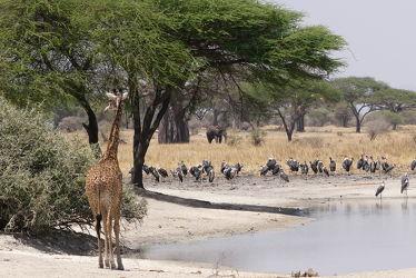 Bild mit Tiere, Natur, Wasser, Paarhufer, Vögel, Giraffe, Elefant, Afrika, Nationalpark, safari