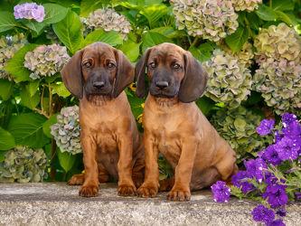 Bild mit Tiere, Haustiere, Hunde, Tier, Hund, Dog, Familienhund, Hundebild, Kinderbild, Kinderbilder, Kinderzimmer, Tierisches, Tiere und Tierkinder, tierisch, Welpe, Tierfotografie, Animal, Tierwelt, lustig, niedlich, Tierliebe, Treu, Hundebabys, Hundekinder, Haustier, Welpen, Jung, Tierbilder, Tierfoto, süß, Hundebilder, Rassehunde, lieb, Hundefreunde, zwei Hunde, Schweißhunde, Gebirgsschweißhunde, Bayerische Gebirgsschweißhund