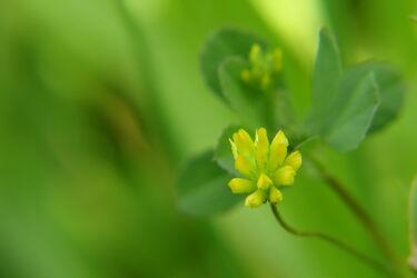 Bild mit Natur, Blume, Wiese, wiesenblumen, Blumenwiesen, blüte, Klee