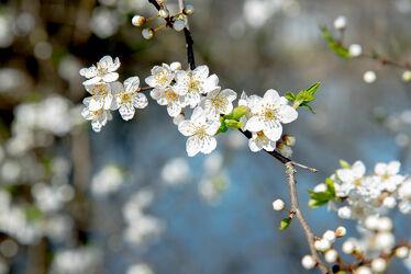 Bild mit Natur, Blume, Pflanze, Kirschblüten