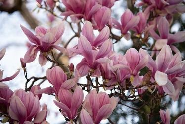 Bild mit Blumen, Pflanze, Magnolien, Magnolie, Magnolienblüte, Magnolienbaum, Magnolienstrauch