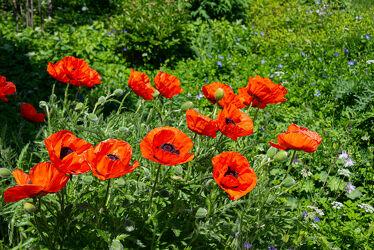 Bild mit Blumen, Mohn, Blume, Pflanze, Mohnblume, Mohneblumen, Mohnpflanze, Klatschmohn, Mohngewächse, Mohnfeld, Mohnblüte, Mohnfelder