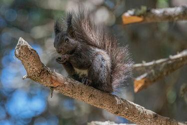 Bild mit Tiere, Eichhörnchen, Animals