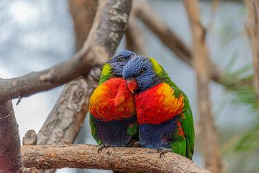 Bild mit Tiere, Vögel, Vogelart, Animals, Vogelwelt, Naturfotografie, Liebe, Lori