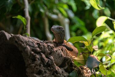 Bild mit Tiere, Reptilien, Leguane, Animals, Reptil