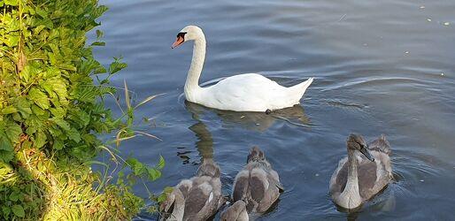 Bild mit Wasser, Gewässer, Wasservögel, Schwäne, Schwanfamilie