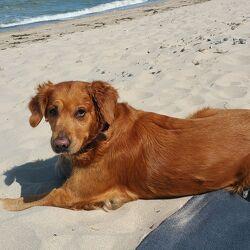 Bild mit Tiere, Hunde, Sonne, Strand, Sandstrand, Rassehunden, Golden Retriever