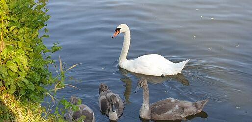Bild mit Tiere, Wasser, Gewässer, Flüsse, Schwäne, Jungtier, Schwanfamilie