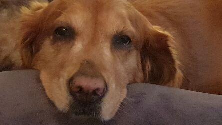 Bild mit Hund, Rassehunden, Gesicht, Golden Retriever, Gelassenheit, Ausstrahlung