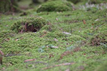Bild mit Wälder, Wald, Waldboden, Moos, moosbedeckt