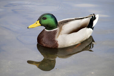 Bild mit Wasser, Gewässer, Vögel, Wasservögel, Ente, Stockente, Erpel, Teich, Schwimmen, Prachtkleid