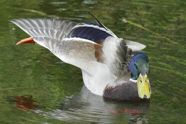 Bild mit Tiere, Wasser, Gewässer, Vögel, Wasservögel, Ente, Stockente, Erpel, See, Teich