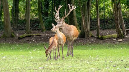 Bild mit Tiere, Natur, Weiden und Wiesen, Laubbäume, Wald, Fauna, Tiere Damwild, Huftiere, wiederkäuer, Dama dama