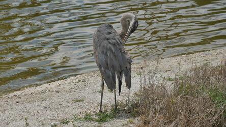 Bild mit Natur, Gewässer, Wellen, Sand, Raubvögel, See, USA, Graureiher, Wasseroberfläche, Silverlake