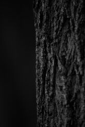 Bild mit Baum, Baumstamm, Baumrinde, schwarz & weiss, Schwarz/Weiß Fotografie