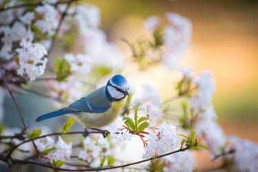 Bild mit Frühling, Vögel, Baum, Blüten, Blühendes, frühjahr, niedlich, Meise, Blaumeise