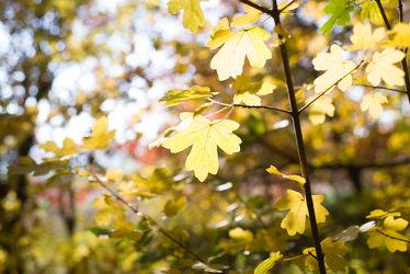 Bild mit Natur,Bäume,Wälder,Herbst,Wald,Baum,Blätter,Görlitz,Landeskrone,Görlitz Umgebung