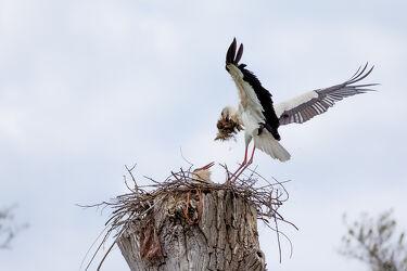 Bild mit Frühling, Vögel, Flügel, Flug, Nestbau, Adebar, Stroch