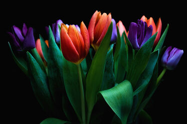 Bild mit Blumen, Frühling, Tulpen, Tulpenstrauß, Bunt, freigestellte blumen, frühlingsblumen, Freigestellt, schwarzer Hintergrund, schnittblumen