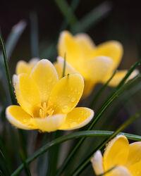 Bild mit Gelb, Frühling, Blume, Wassertropfen, frühlingsblumen, Blumen & Makro, blüte, Krokus, Jahreszeit, blühen
