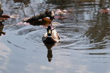 Bild mit Tiere, Natur, Wasser, Entenvögel, Teich