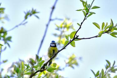 Bild mit Tiere, Natur, Vögel, Meise