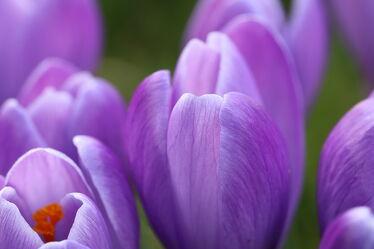 Bild mit Pflanzen, Blumen, Frühling, frühlingsblumen, Tapete, Ostern, garten, Krokusse, wandschmuck, Dekoration