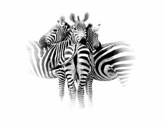 Bild mit Natur, Schwarz, Streifen, schwarz & weiss, Wildtiere, Freunde, Zebras, Drei