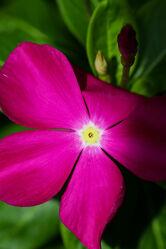 Bild mit Pflanzen, Blumen, Lila, Frühling, Makrofotografie, Flower, Flowers, malaysia, Blumenfotografie, Marko