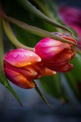 Bild mit Pflanzen, Blumen, Frühling, Makrofotografie, Tulpe, Tulpen, Flower, Flowers, Blumenfotografie, Marko