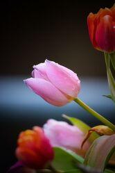 Bild mit Pflanzen, Blumen, Frühling, Makrofotografie, Tulpen, Tulpenstrauß, Flower, Flowers, Blumenfotografie, Marko