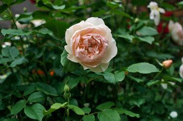 Bild mit Blume, Pflanze, Rose, bokeh