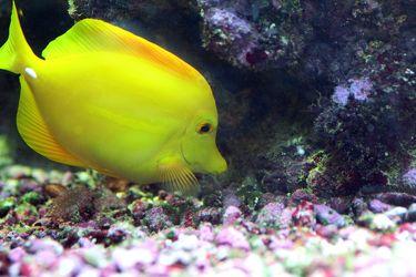 Bild mit Farben,Gelb,Gegenstände,Tiere,Natur,Landschaften,Nesseltiere,Korallen,Fische,Fische,Barsche,Unterwasser,Riffs,Aquarien,Tier,Krebse und Weichtiere,Fisch