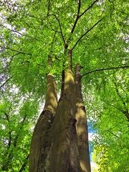 Bild mit Farben,Natur,Grün,Pflanzen,Landschaften,Bäume,Jahreszeiten,Wälder,Herbst,Laubbäume,Birken,Wald,Baumkrone,Lichtung
