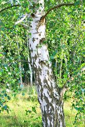 Bild mit Natur, Grün, Bäume, Wälder, Weiß, Laubbäume, Birken, Wald, Baumkrone, Baum, Birke, Betula, Baumstamm, Forest, Birkenwald, Birkenwälder, Birkenblätter, Birkengewächs, Sandbirke, Weißbirke, Warzenbirke, althochdeutsch Bircha, Birkenstamm, Laubbaum, Nature, Tree, Baumstämme