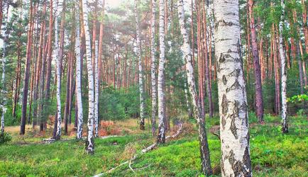 Birkenwald 2