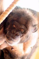 Blick eines Schimpansen Affe
