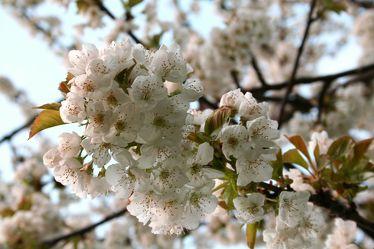 Blütenzauber eine Kirschbaum's