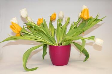 Bild mit Gegenstände,Natur,Pflanzen,Blumen,Töpfe,Sträuße,Bluemstrauß,Tulpe,Tulips,Tulpen,Tulpenstrauß,Strauß Tulpen,gelbe Tulpe,weiße Tulpen,Tulipa,Tulpen in einer rötlichen Vase vor hellem Hintergrund