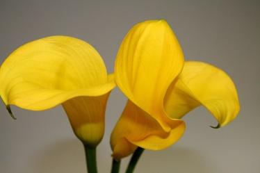 Bild mit Natur,Grün,Pflanzen,Blumen,Blume,Callas,Kalla,gelbe Calla,grauer Hintergrund