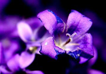 Bild mit Farben, Natur, Pflanzen, Jahreszeiten, Blumen, Lila, Violett, Frühling, Sträucher, Lavendel, Blau, Glockenblumen