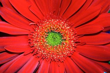 Bild mit Natur,Pflanzen,Blumen,Korbblütler,Gerberas,Rot