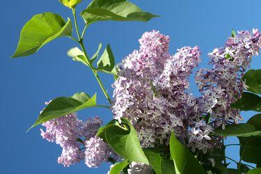 Bild mit Farben,Natur,Pflanzen,Bäume,Blumen,Lila,Baum,Blume,Pflanze