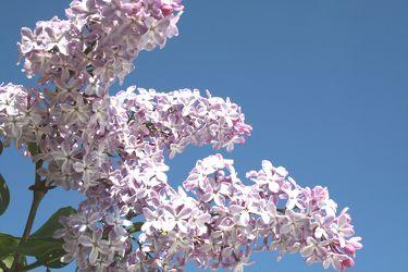 Bild mit Farben,Natur,Pflanzen,Bäume,Jahreszeiten,Blumen,Lila,Frühling,Blau,Pflanze,blüte,flieder