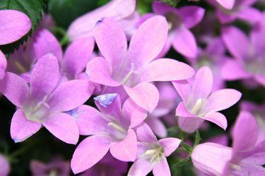 Bild mit Farben,Natur,Pflanzen,Blumen,Rosa,Lila,Violett,Glockenblumen,Magenta,männertreu