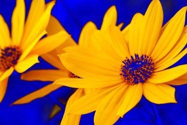 Bild mit Farben,Gelb,Natur,Pflanzen,Blumen,Korbblütler,Blau,Sonnenblumen