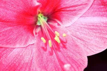 Bild mit Farben,Natur,Pflanzen,Blumen,Rosa,Rot,Hibiskuse